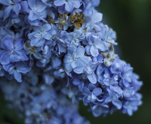 Lilac Bloom