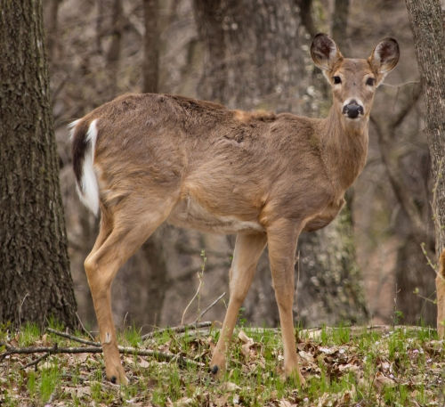 Ledges Deer